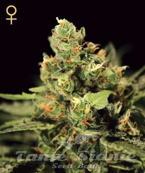 Auto Big Bang - GREEN HOUSE SEEDS