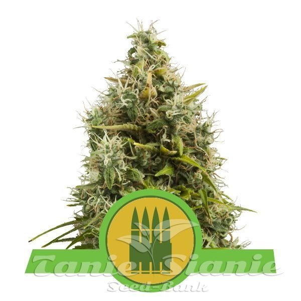 Royal AK Automatic 1+1 - ROYAL QUEEN SEEDS
